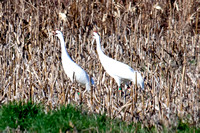 Visiting Whooping Cranes, Dec. 23, 2011